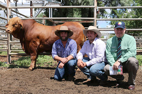 Medway Wanditta (P) D5 the equal top price $38,000 bull at the Highlands Droughtmaster Sale, Clermont, pictured with representing the Donaldson Family, Medway Droughtmasters is Brenten Donaldson,Tom Flohr, Red River Droughtmasters and Mark Scholes, Landmark.
