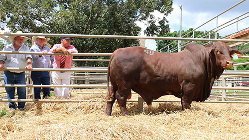 Redskin Harley (S)D4 $38,000 equal top price bull at the Highlands Droughtmaster Sale, Clermont, pictured with vendor Ken Rutherford, Redskin Droughtmasters, Morinish, Warren Kenny, Wajatryn Droughtmasters, Gayndah & Randall Spann, Elders.