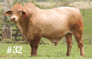 Highlands Droughtmaster Lot 32