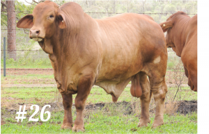 Highlands Droughtmaster Lot 26
