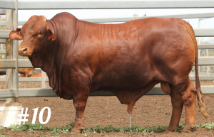 Highlands Droughtmaster Lot 10