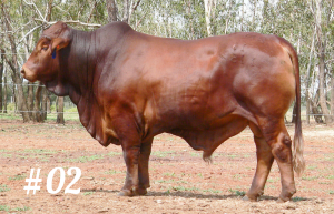 Highlands Droughtmaster Lot 02