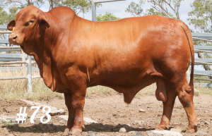 Highlands Droughtmaster Lot 73